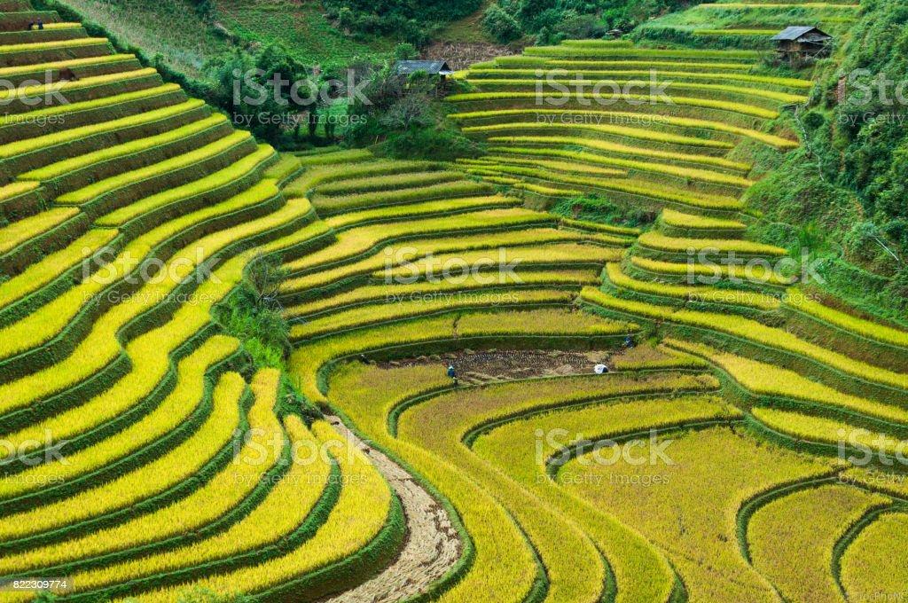 Rice field on terrace Mu Cang Chai Yen Bai,Vietnam stock photo