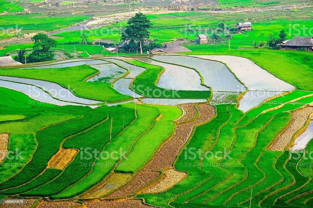rice field on terraced in vietnam royalty-free stock photo