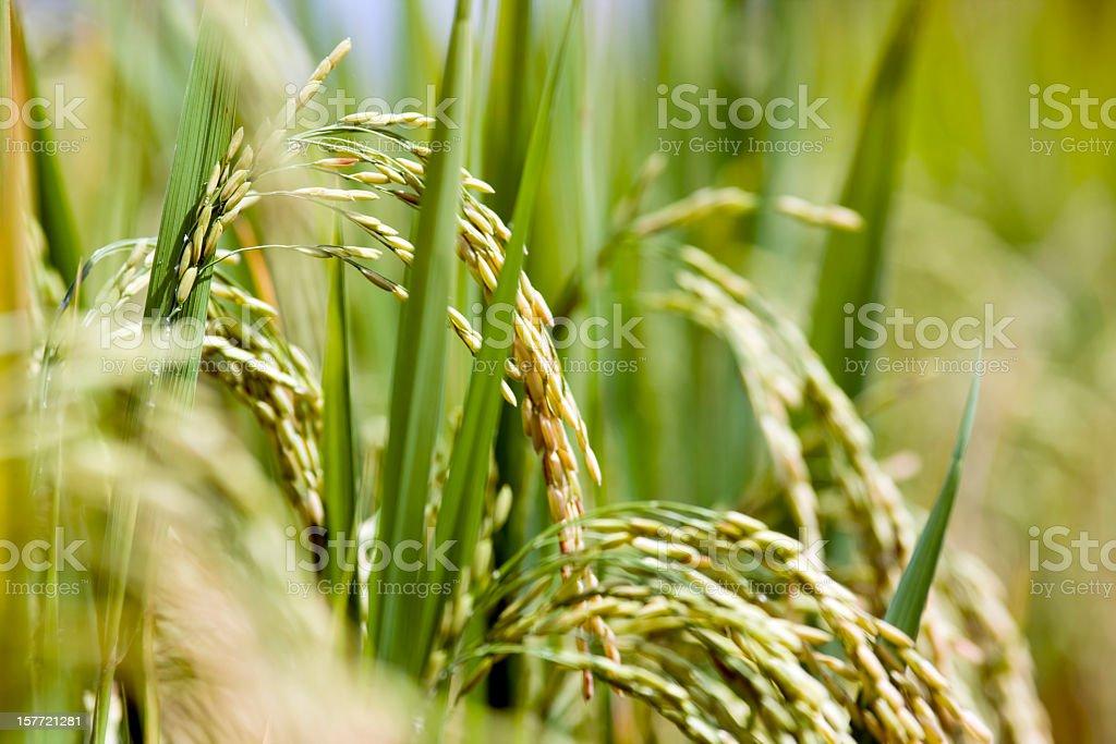 Rice field. stock photo