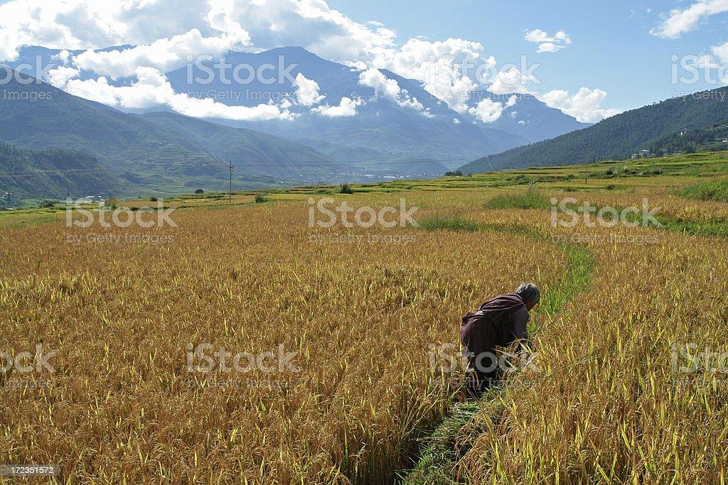 Campo de arroz foto de stock libre de derechos