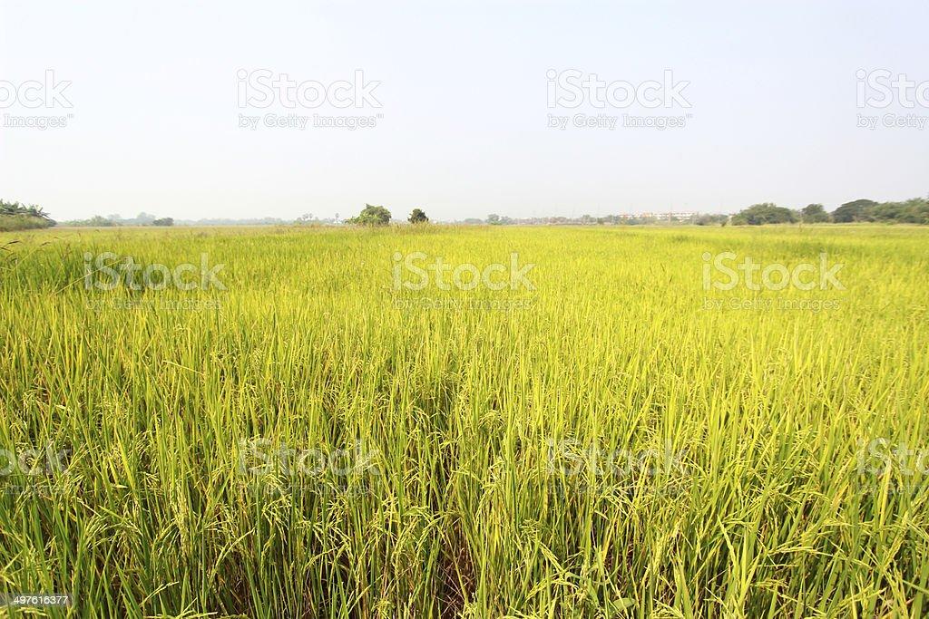 rice field royalty-free stock photo