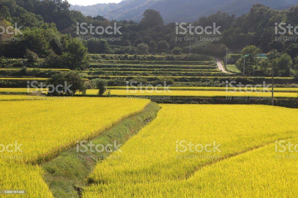 Terrazas Campo De Arroz Foto De Stock Y Más Banco De Imágenes De Agricultura