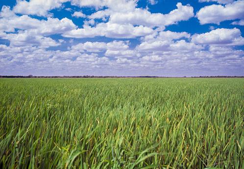 Rice field, Portuguesa state, Venezuela