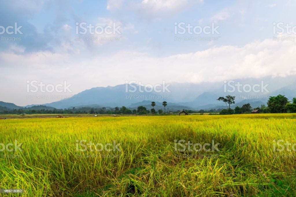 Rice field with blue mountain royalty-free stock photo
