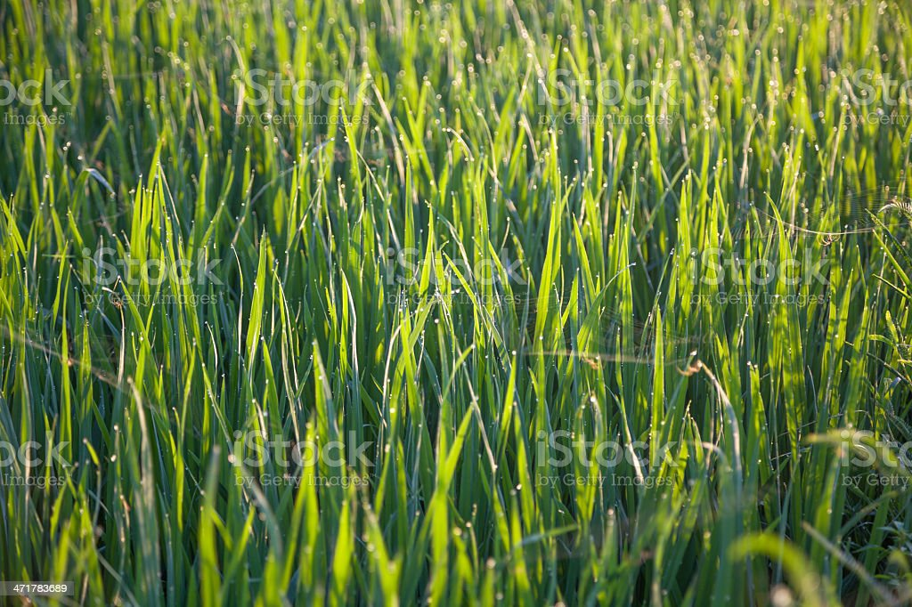 rice field with light dot defocused royalty-free stock photo