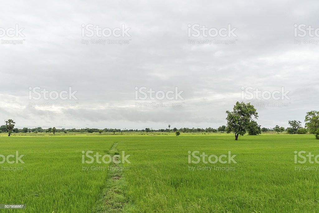 Rice field with scenic background #2 stock photo