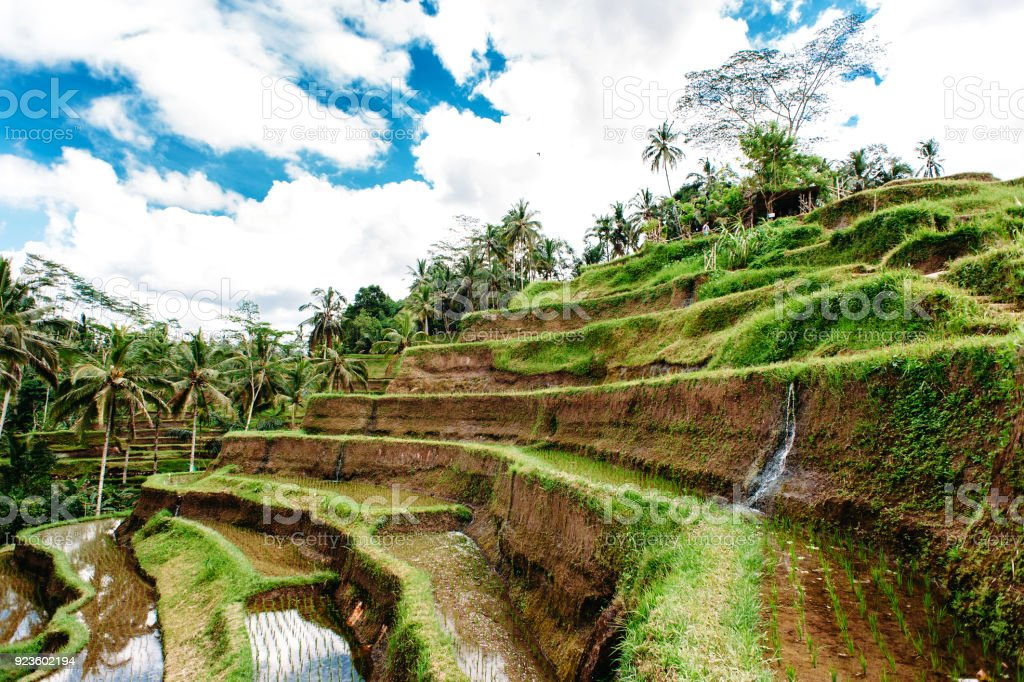 Rice Field With Water In Mountains On Bali Indonesia Tegalalang Rice Terrace Agriculture Wide Angle Stock Photo Download Image Now Istock