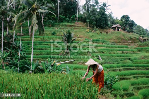 Women working in the rice fields in Bali, Indonesia. She is wearing traditional Asian hats on a warm and humid day.