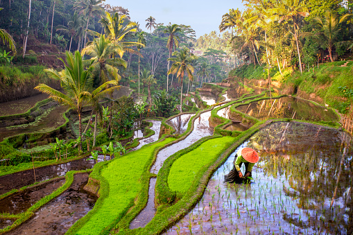 Rice field workers in Indonesia