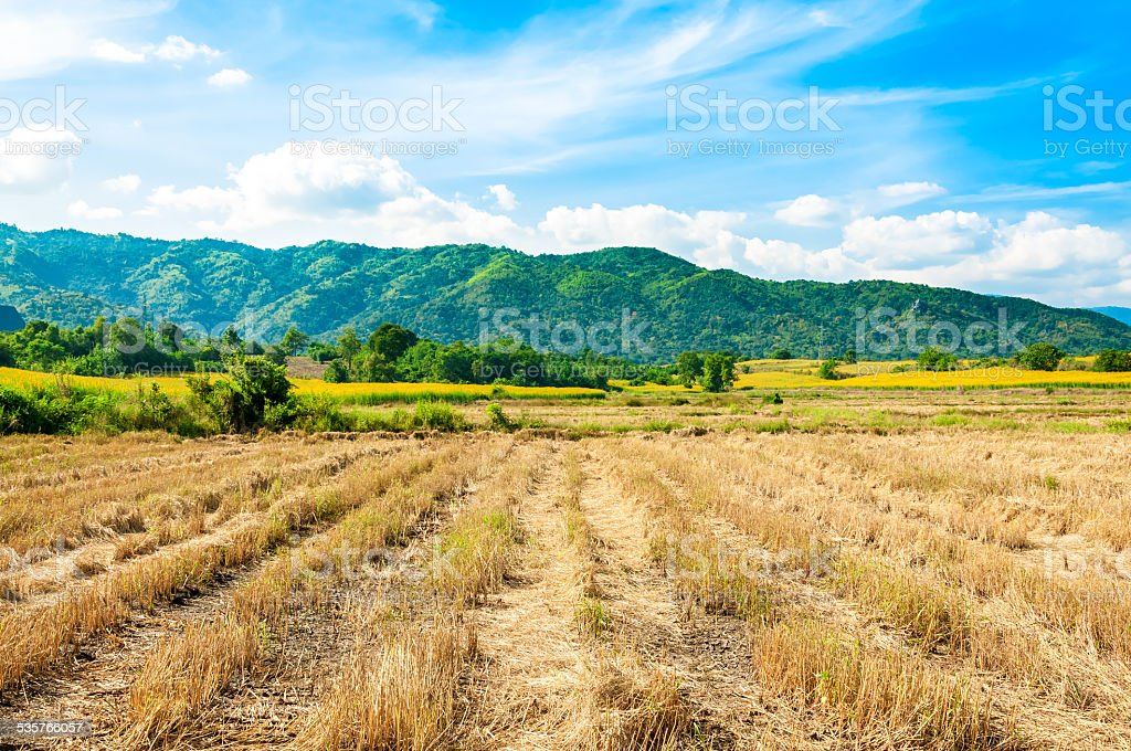 rice fields after harvested stock photo