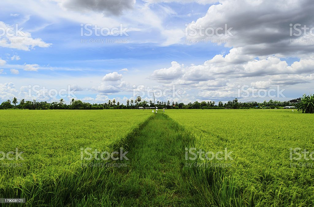 Rice fields and Blue Sky royalty-free stock photo