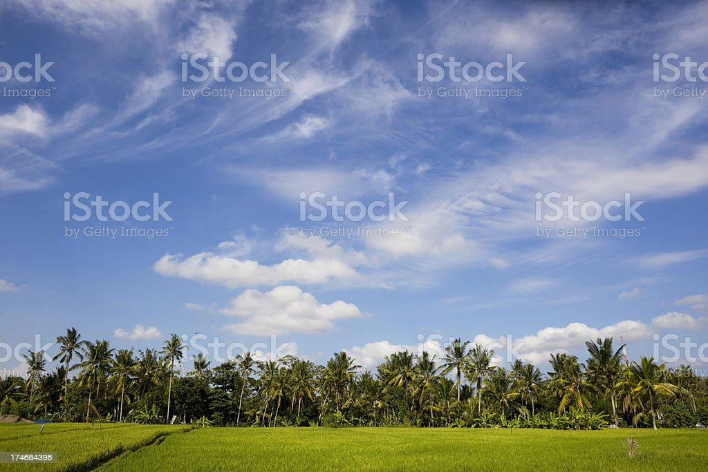 Rice fields and palm trees royalty-free stock photo