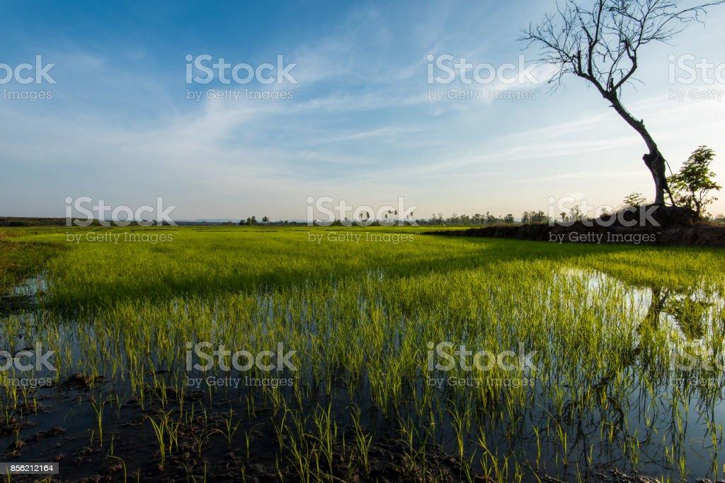 Rice fields Asia stock photo