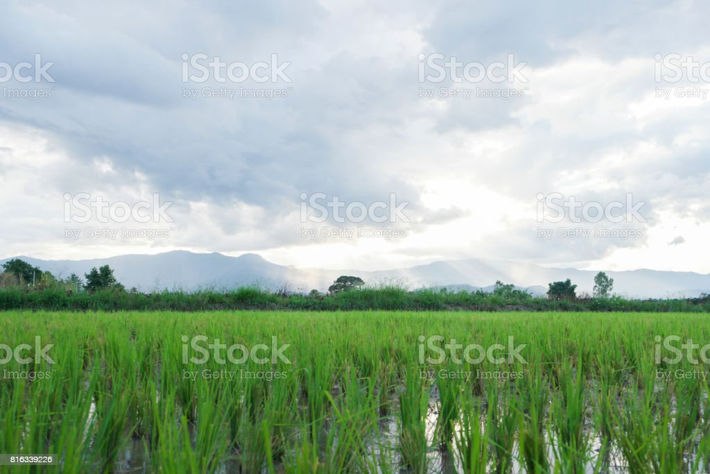 Rice fields at sunset. stock photo