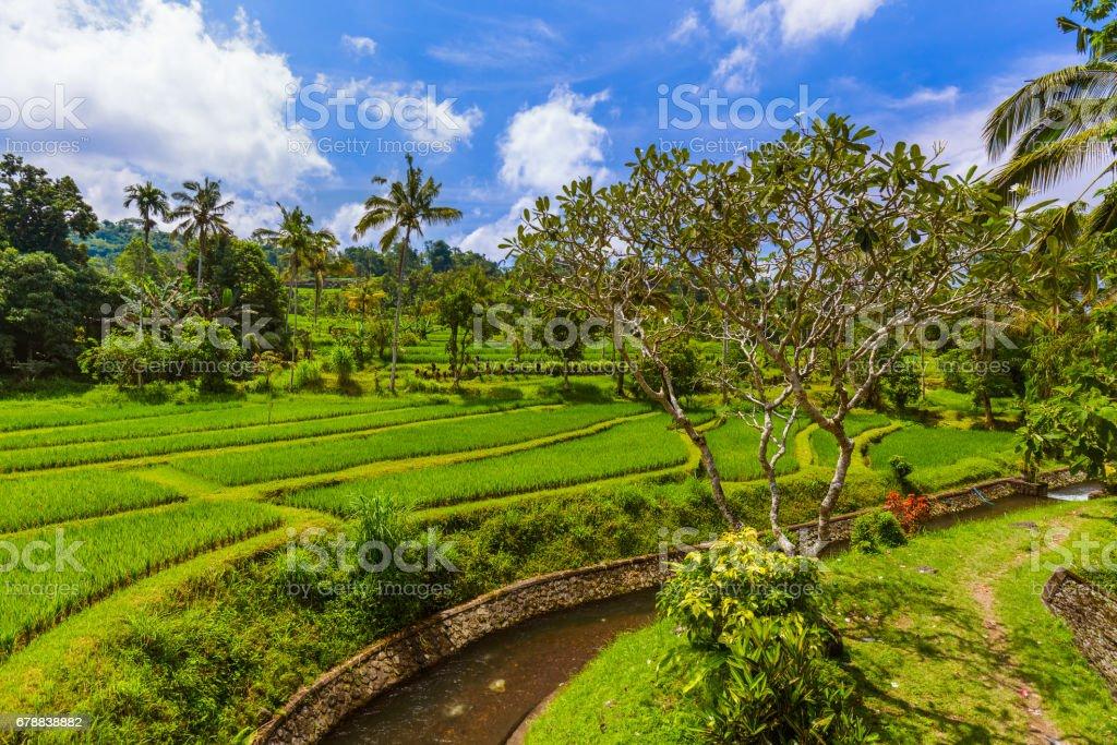 Rice fields - Bali island Indonesia royalty-free stock photo