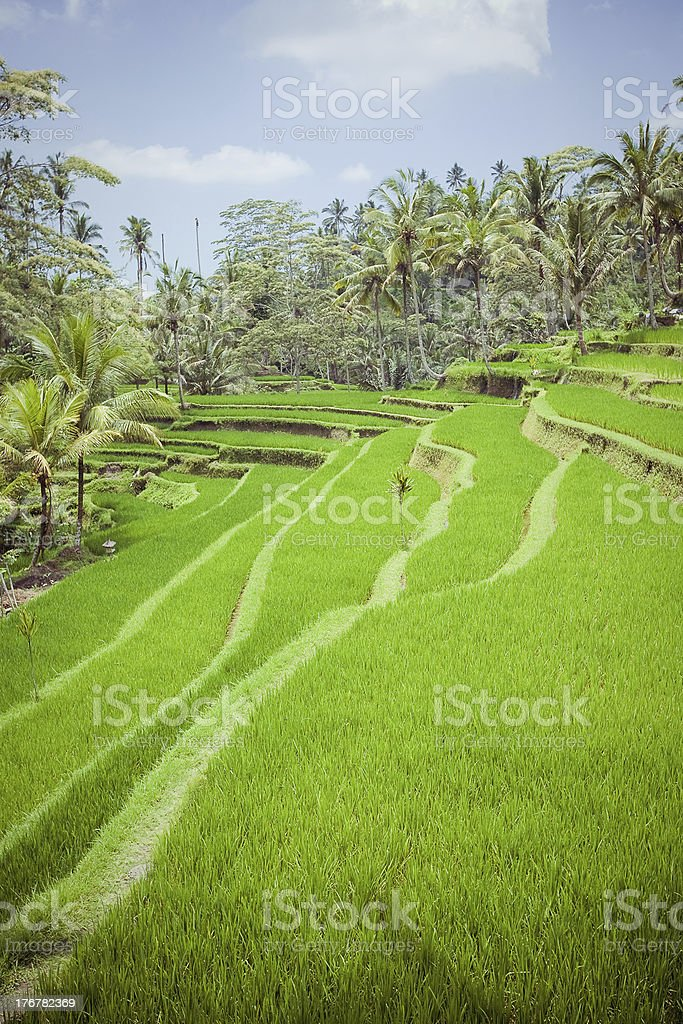 Rice Fields in Bali royalty-free stock photo