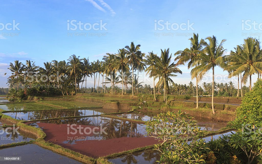 rice fields in Indonesia royalty-free stock photo