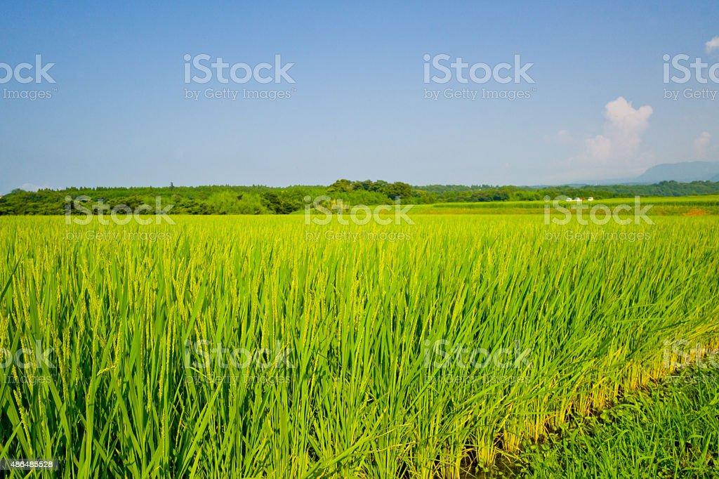 Rice fields in Japan stock photo