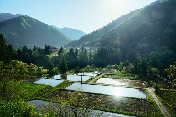 Rice fields in Japanese Alps stock photo