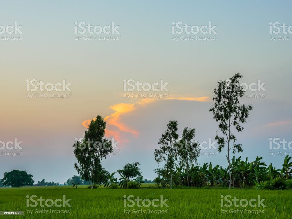 rice fields in sunset royalty-free stock photo