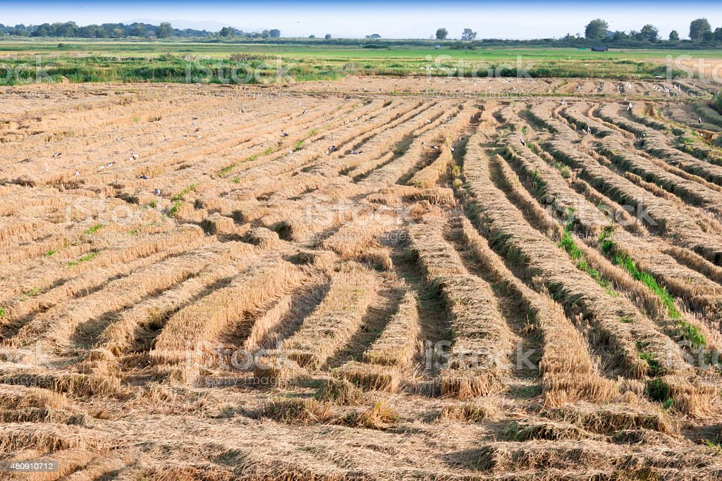 Rice fields in Thailand stock photo