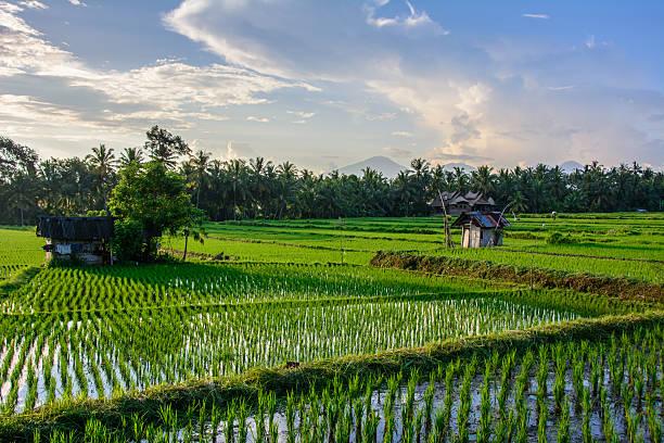 Rice fields in Ubud, Bali island, Indonesia – Foto