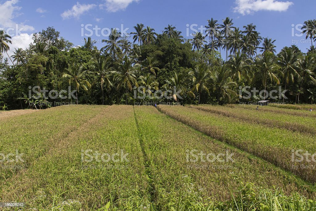 rice fields on Bali royalty-free stock photo