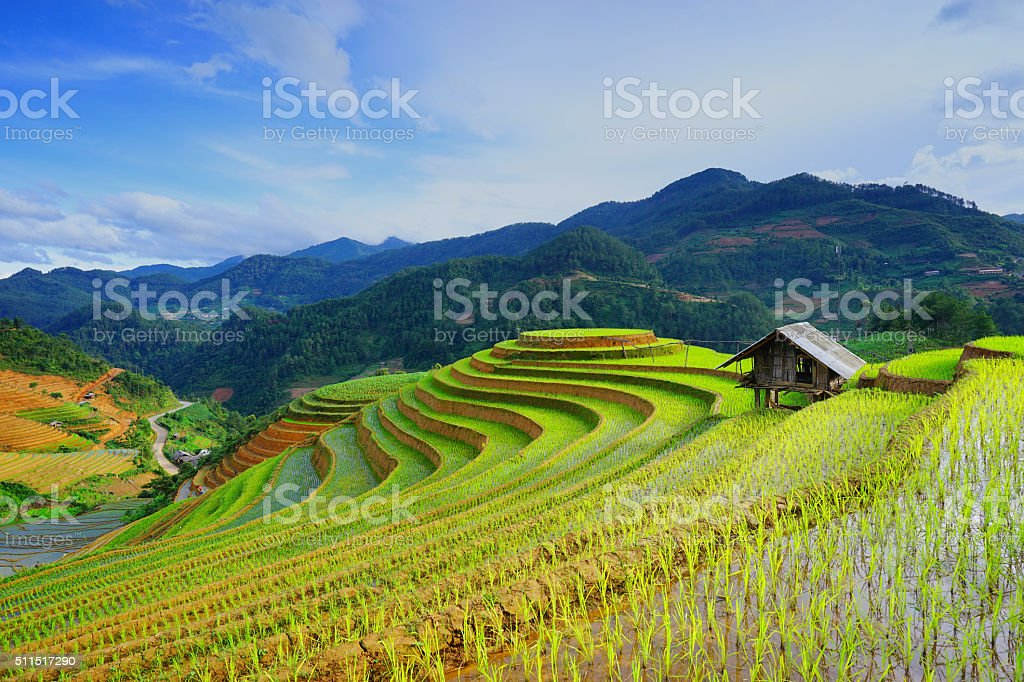 Rice fields on terrace in rainy season. Vietnam. stock photo
