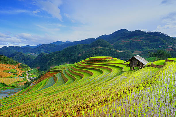 rice fields on terrace in rainy season. vietnam. - terras veld stockfoto's en -beelden