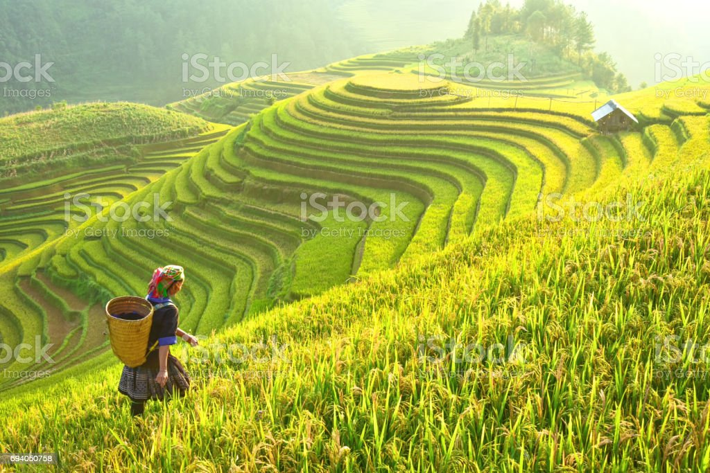 Rice fields on terraced of Mu Cang Chai, YenBai, Rice fields prepare the harvest at Northwest Vietnam.Vietnam landscapes. stock photo