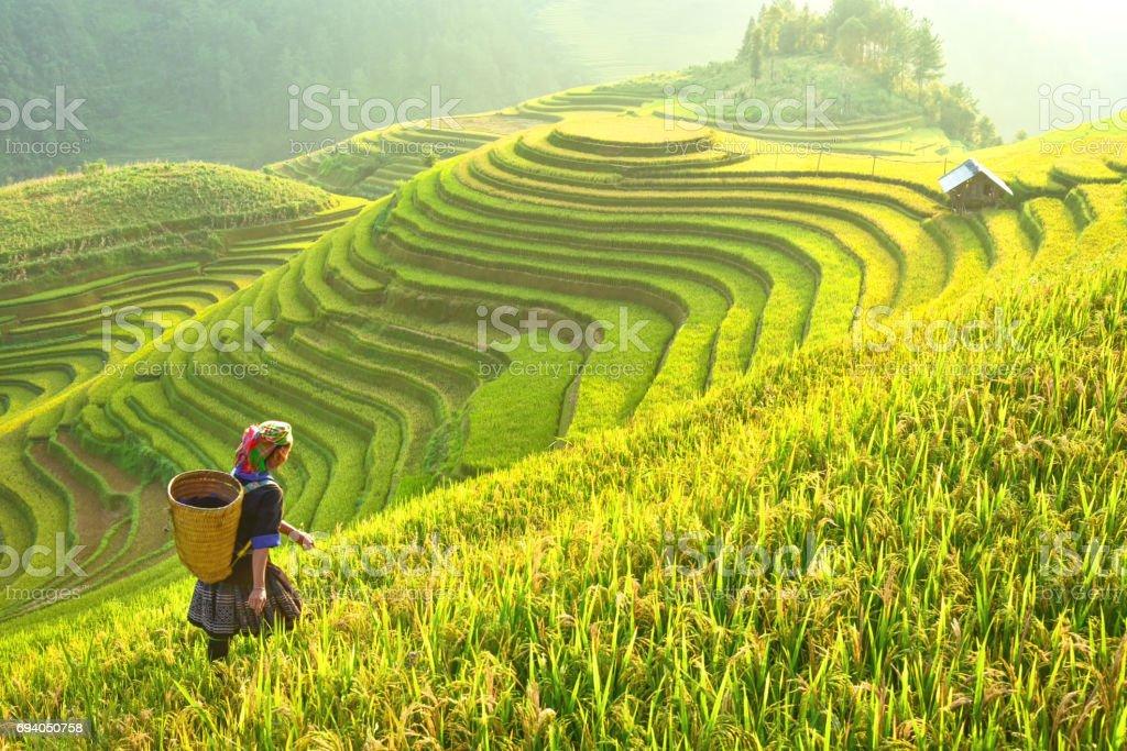 Reis Felder auf terrassierten Mu Cang Chai, YenBai, Reisfelder bereiten die Ernte im Nordwesten Vietnam.Vietnam Landschaften. – Foto