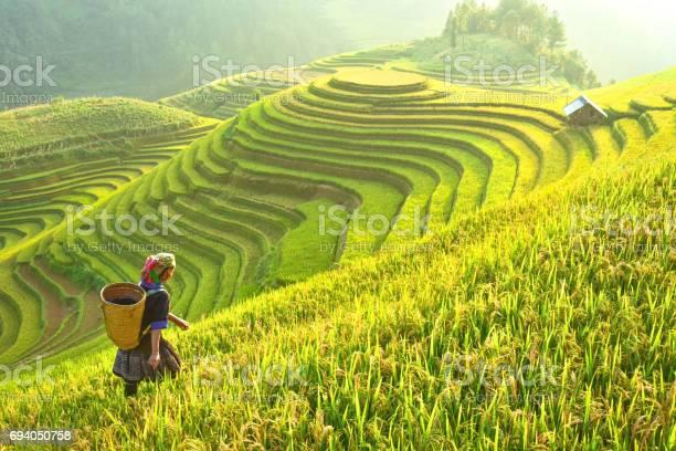 Rice fields on terraced of Mu Cang Chai, YenBai, Rice fields prepare the harvest at Northwest Vietnam.Vietnam landscapes.