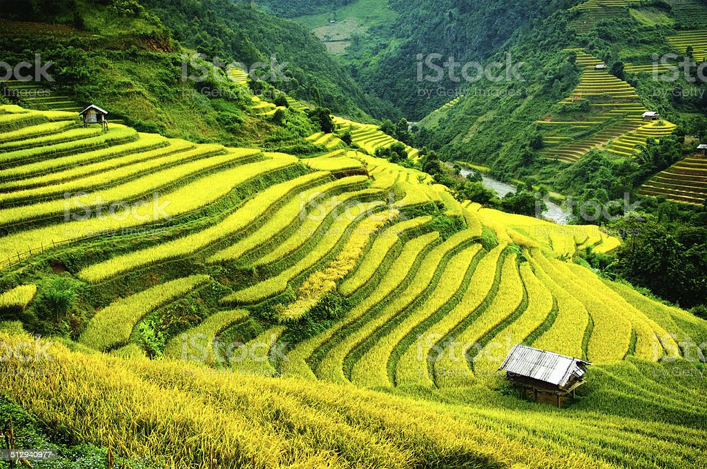 Rice fields on terraced of mu cang chai yenbai vietnam for What does terrace farming mean