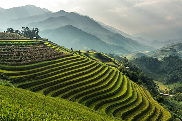 Rice fields on terraced of Mu Cang Chai, YenBai, Vietnam Rice fields on terraced of Mu Cang Chai, YenBai, Vietnam. Rice fields prepare the harvest at Northwest Vietnam.Vietnam landscapes. rice paddy stock pictures, royalty-free photos & images