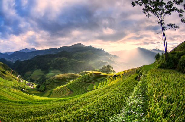 rice fields on terraced of mu cang chai, yenbai, vietnam, soft focus - sa pa zdjęcia i obrazy z banku zdjęć