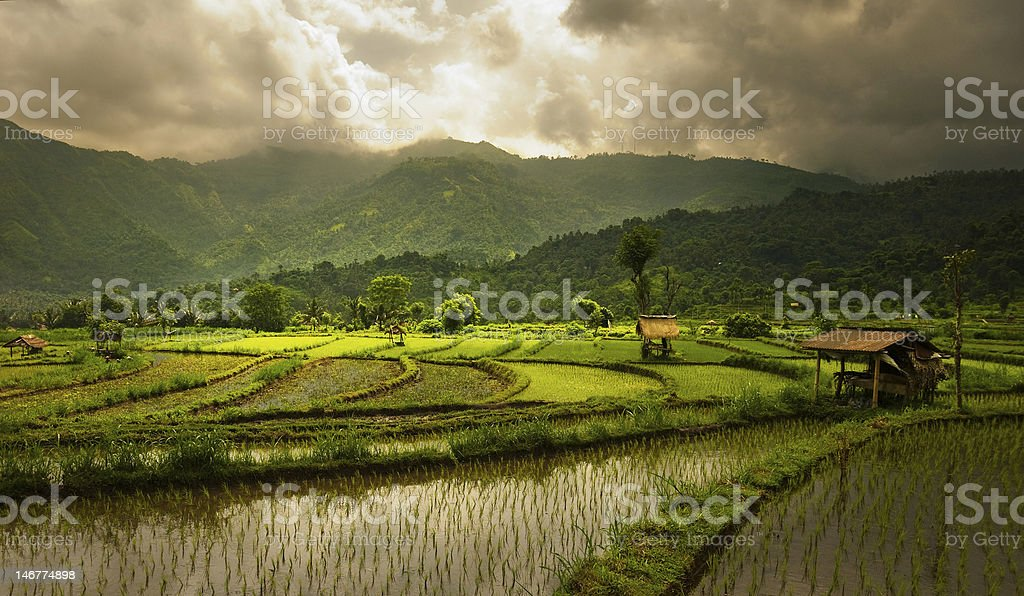 Rice Fields Rice Fields Agricultural Field Stock Photo