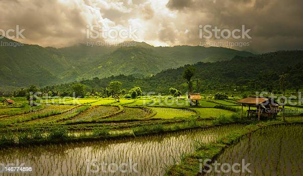 Rice Fields Stock Photo - Download Image Now