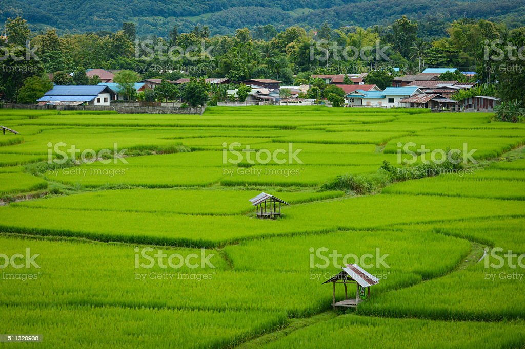 Rice fields. stock photo