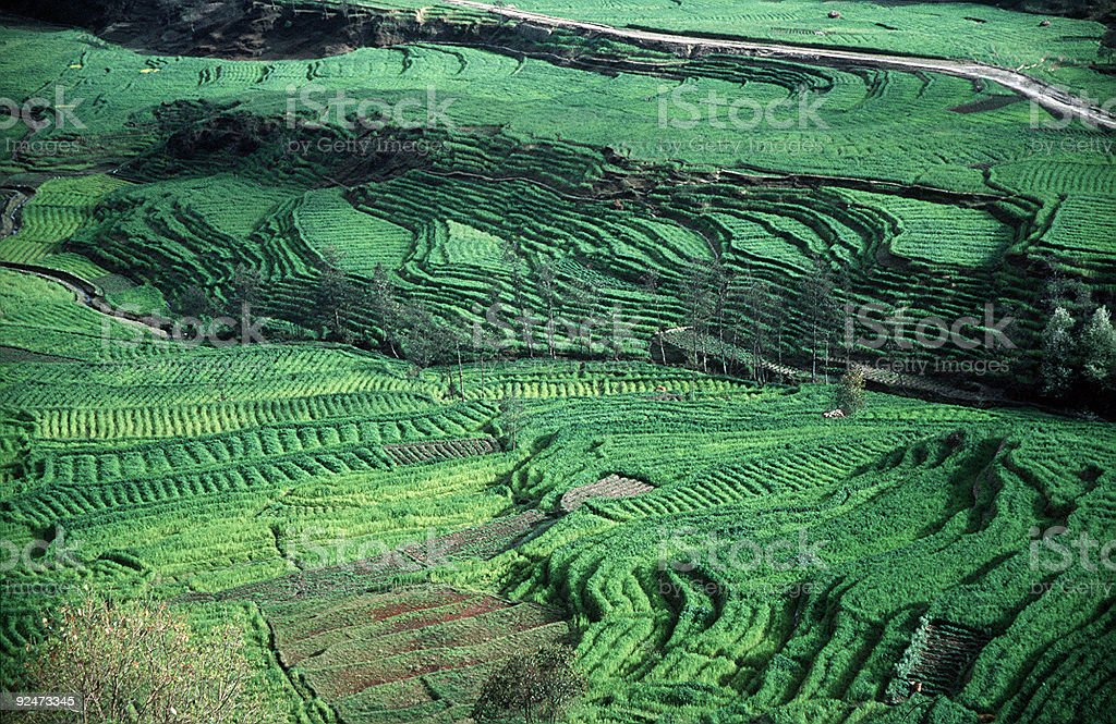 Rice Fields royalty-free stock photo