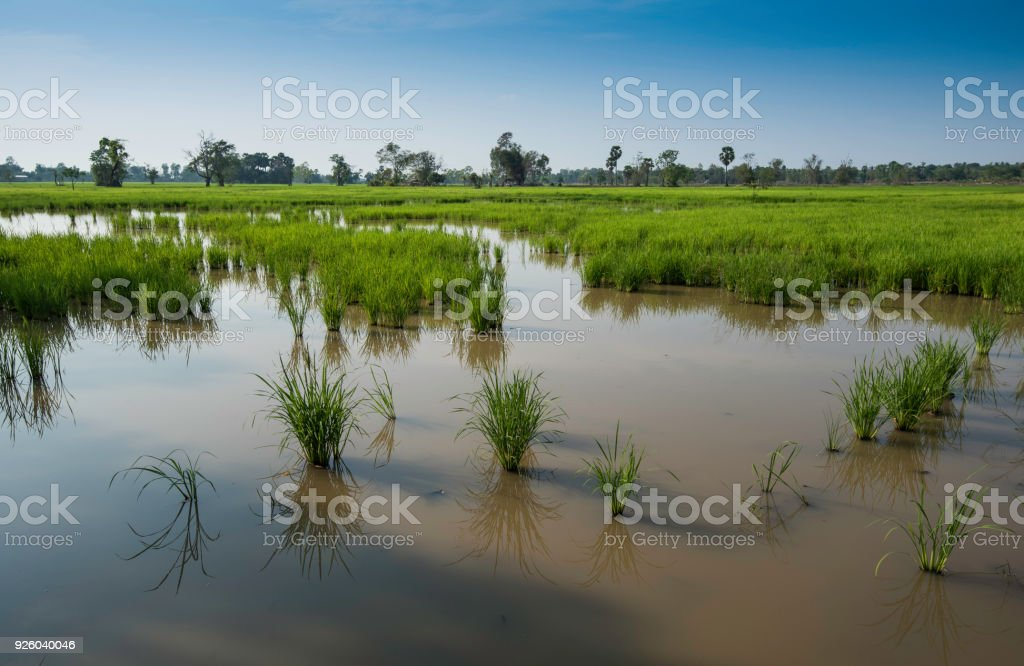 Rice fields showing water damage due to land fill for building...