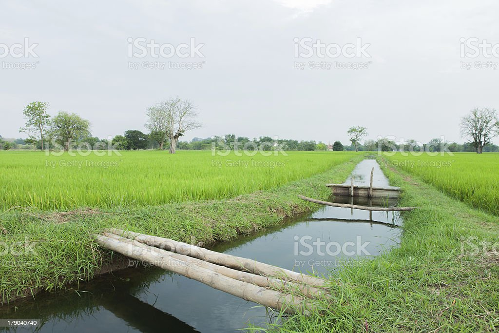 rice fields  whit a stream royalty-free stock photo