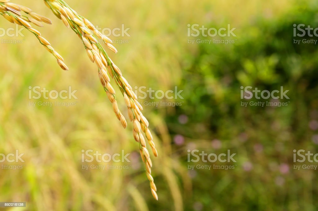 Rice Grain on Its Stalk in Paddy Field Ready for Harvesting stock photo