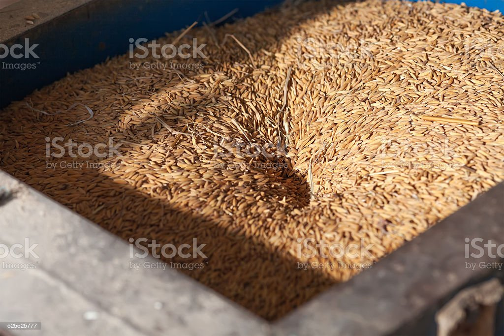 Rice grain stock photo