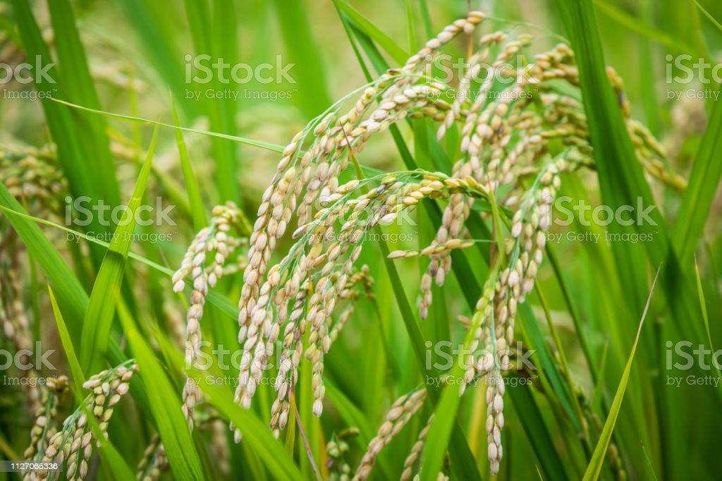 Rice Grains, Medium Close-up stock photo