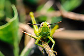 Green grasshopper insects on thorny branches