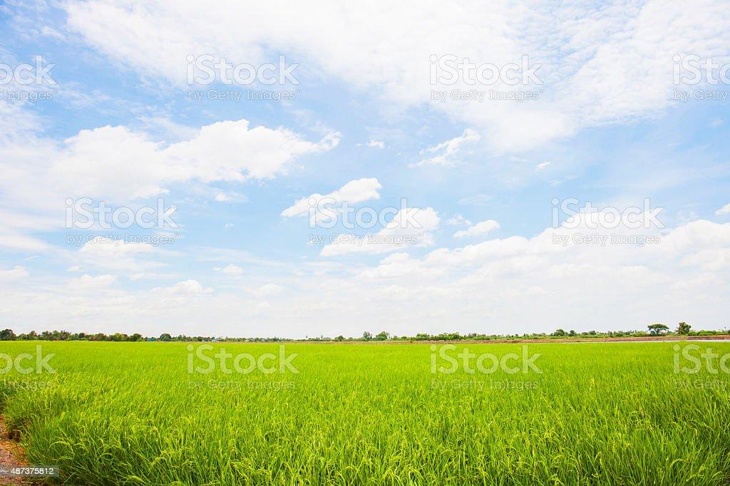 Rice greenfield stock photo