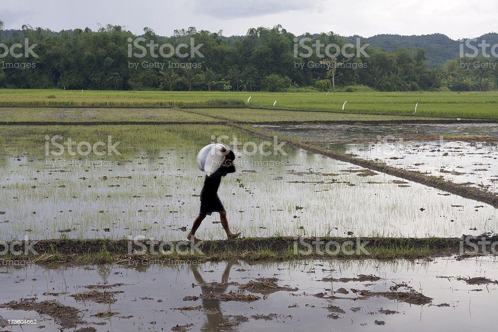 Rice harvest royalty-free stock photo