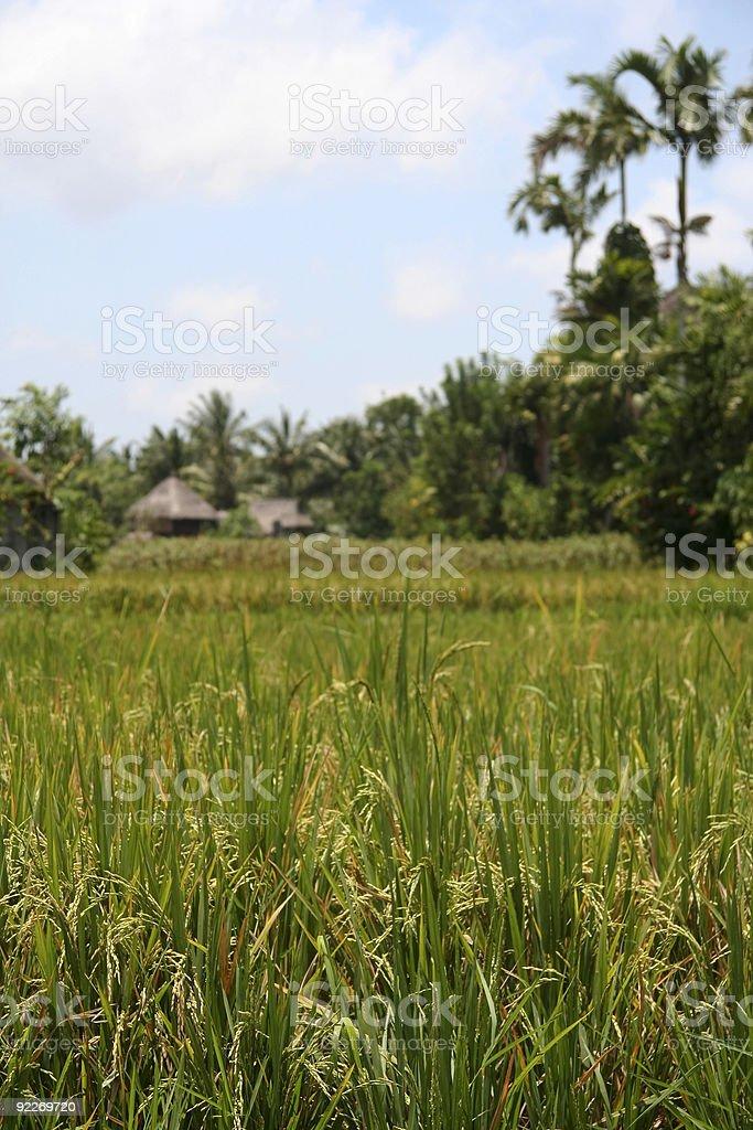 rice harvest ubud bali royalty-free stock photo