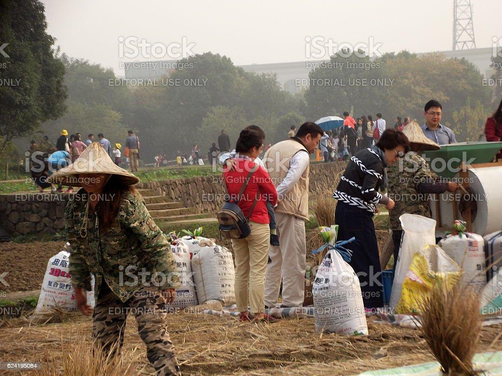 Rice Harvesting in China stock photo