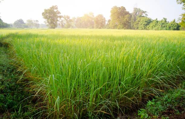 Reis am Morgen – Foto